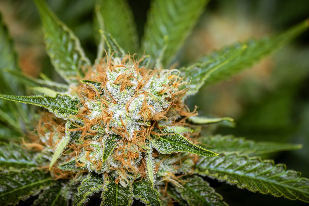 Terpenes and CBD in the Cannabis plant