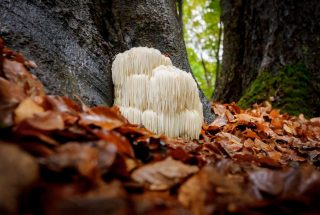 a lions mane mushroom in the wilderness
