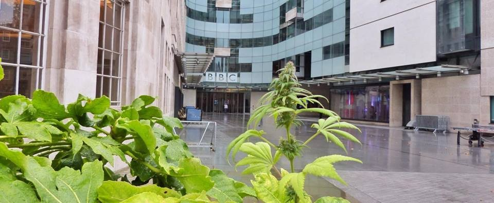 Photo: Cannabis plants at  BBC headquarders. Courtesy of Feed The Birds.