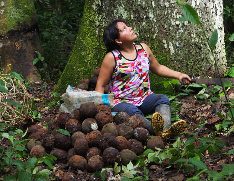 Photo: Canto Luz worker Mariluz harvesting Brazil nuts, which the facility harvests as part of a program providing alternative economic development models to damaging oil drilling, gold mining and logging.