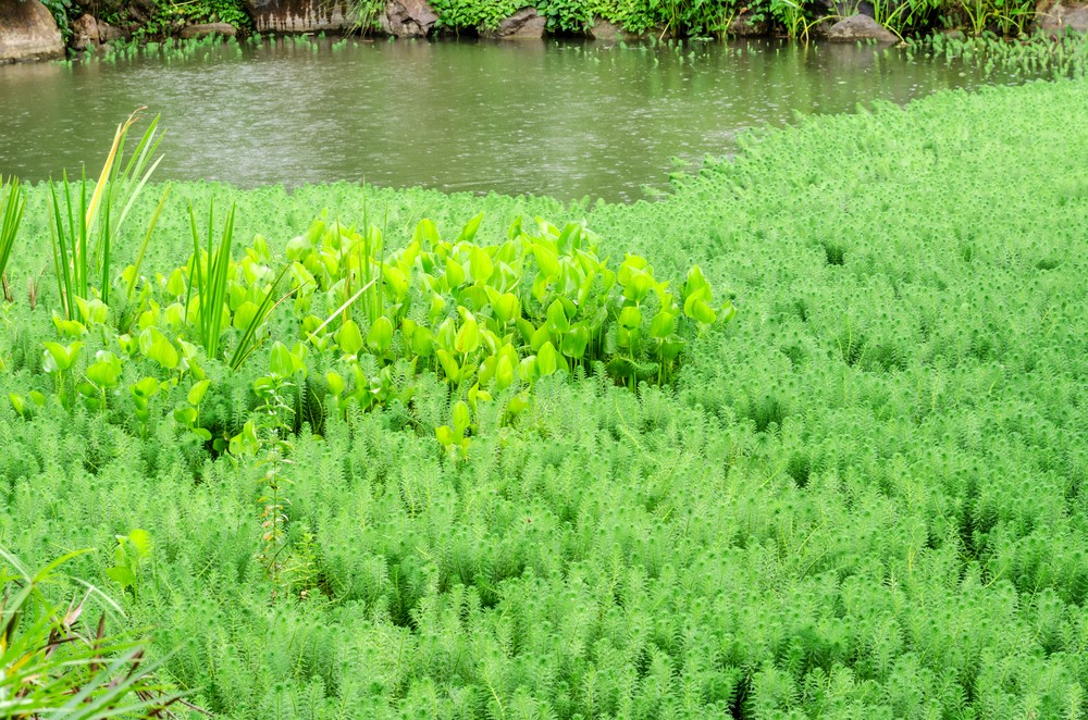 Photo: Hydrilla (and water hyacinth) growing in a pond. Via: Kedsirin.J | Shutterstock