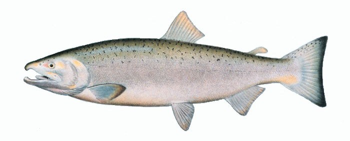 Salmon is naturally high in DHA. Via: NOAA | Licensed under Public Domain