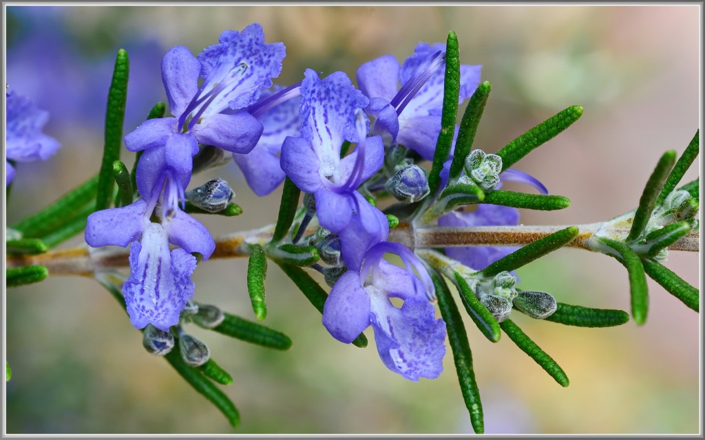 Photo: Rosemary. Via: tdlucas5000 | Flickr | Licensed by Creative Commons 2.0.