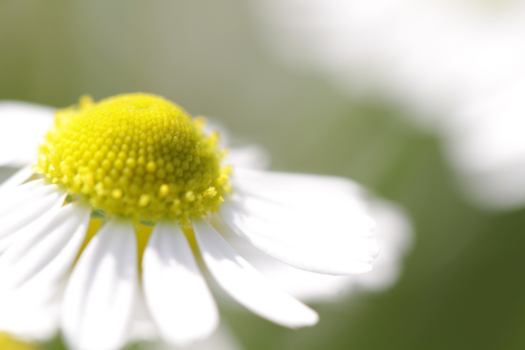 Photo: Chamomile can ease pain and aid sleep. Via: Takashi Hososhima | Flickr | Licensed by Creative Commons 2.0.