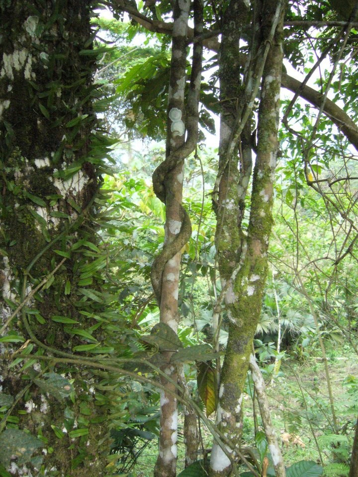 Photo: If used wisely, the ayahuasca vine offers the potential for deep healing. Via: iceers.org