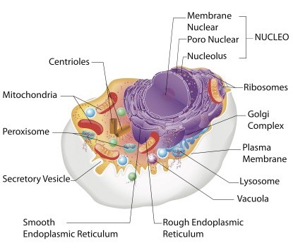 Image: Diagram of a human cell. Via: snap galleria | Shutterstock.