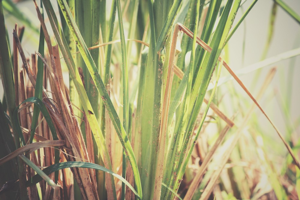 Vetiver essential oil is distilled from the roots of vetiver (Chrysopogon zizanioides) grass. Via: successo images | Shutterstock.