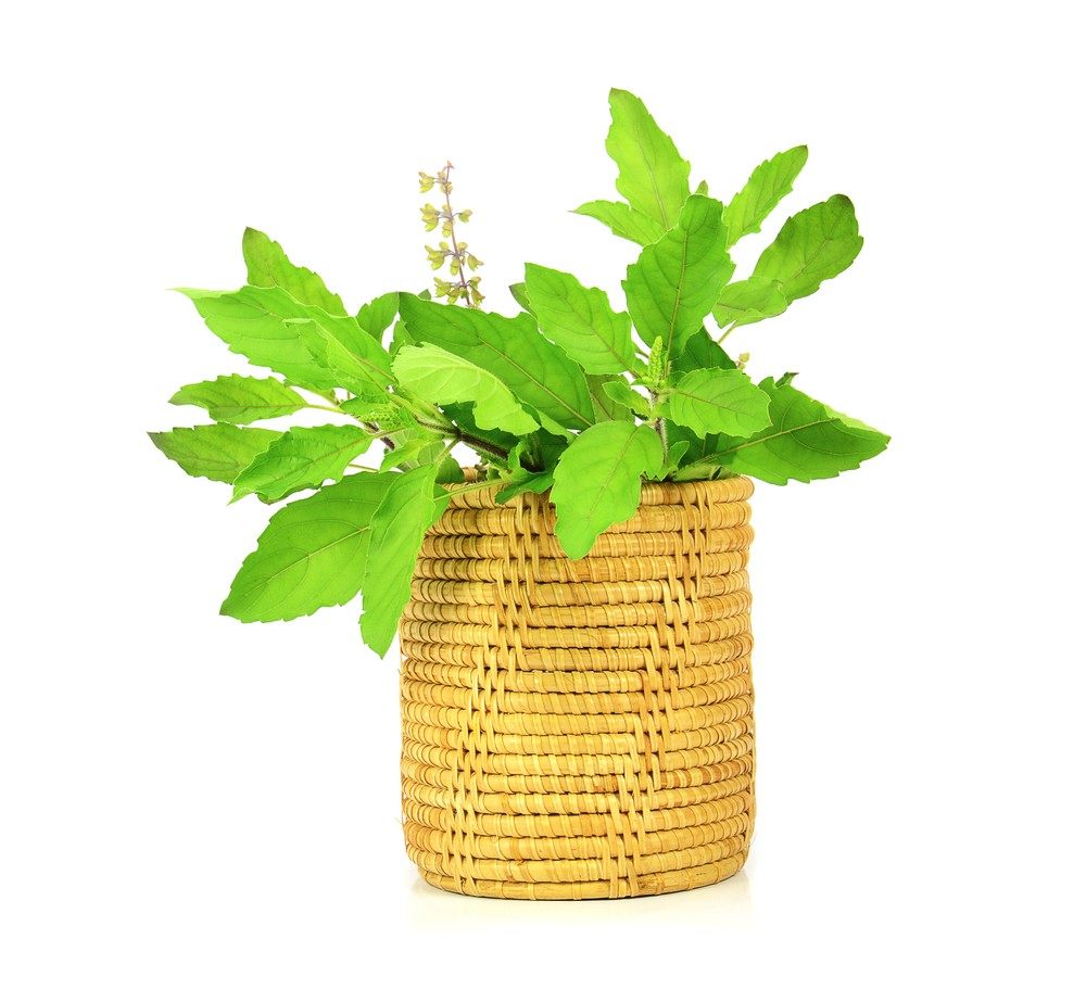 Holy basil can be grown outdoors or inside as a house plant. Via: Dusit Kachatong | Shutterstock.
