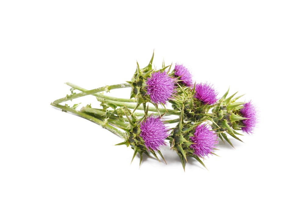 Research suggests milk thistle may be effective at combating cancer. Via: nixki | Shutterstock.