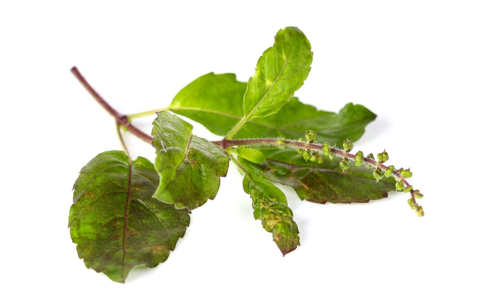 Holy basil is an excellent antidote to stress, and so much more! Via: Napat | Shutterstock.