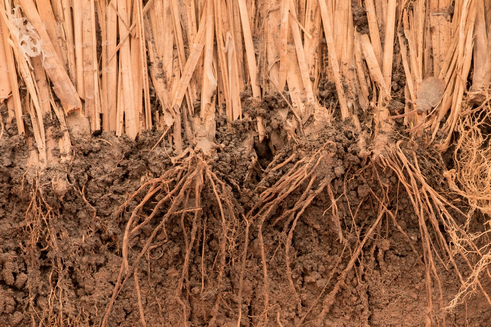 Photo: Roots of vetiver grass in the ground. Via: RAYphotographer | Shutterstock.