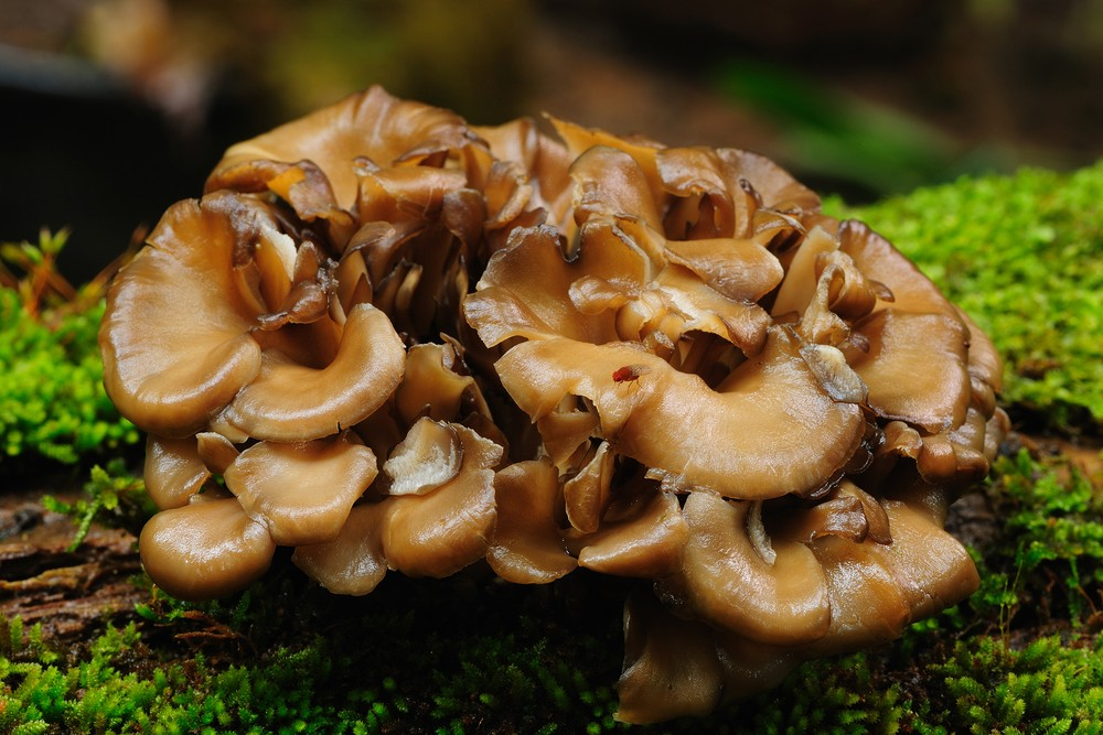 Photo: Topping sought the anti-cancer properties of the maitake mushroom. Via: puttography | Shutterstock.