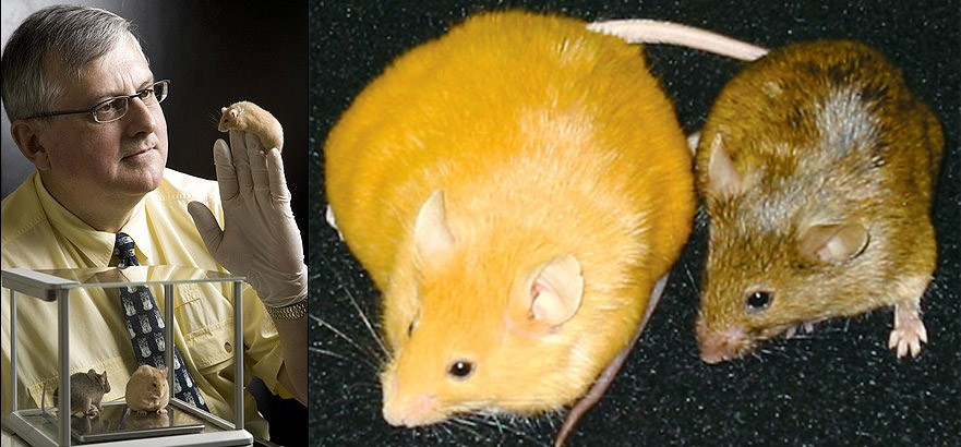Dr. Randy Jirtle (left) was able to radically change the genetic expression of the offspring of genetically similar yellow agouti (Avy) mice (right) just by manipulating their diet using methyl donors (i.e. choline, betaine, folic acid, and vitamin B12). Via: http://archive.sciencewatch.com/ana/st/epigen/09augEpiJirt/