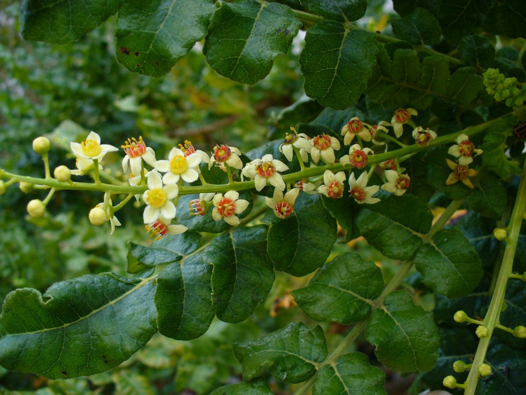 Photo: Flowers and branches of the Boswellia sacra tree, the species from which most frankincense oil is derived. Via: Florida International University | Licensed under Creative Commons 2.0.