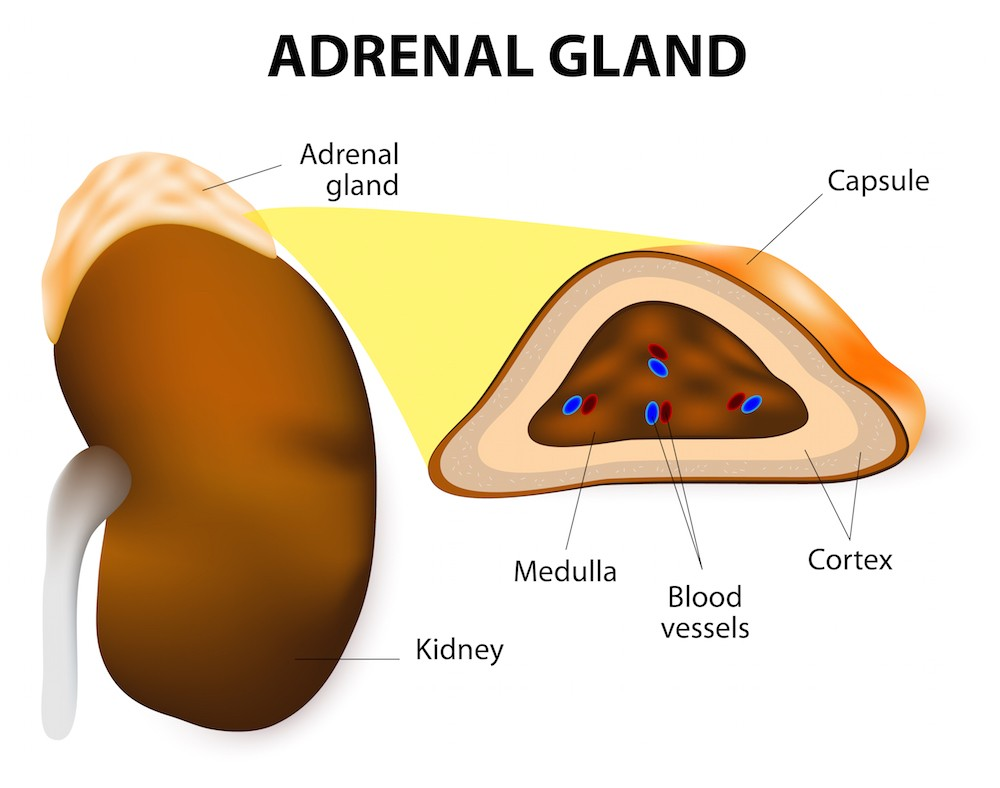 The inner layer of the adrenal glands secretes both norepinephrine and epinephrine (adrenaline). Via: Designua | Shutterstock.