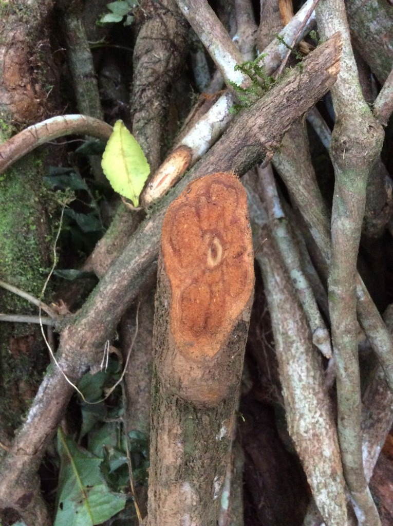 Banipsteriopsis caapi, one of the two main ingredients of the ayahuasca brew.
