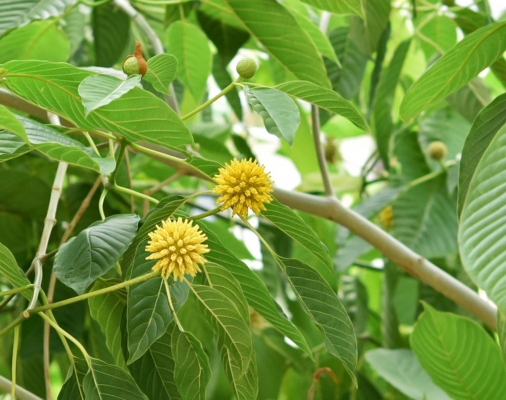 Kratom is from the coffee family. There are no known deaths from ingesting kratom alone. Via: ninoninos | shutterstock