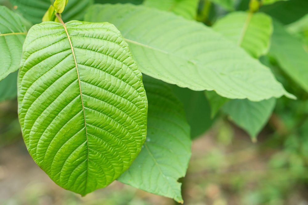 Kratom is from the coffee family. There are no known deaths from ingesting kratom alone. Via: MIA Studio